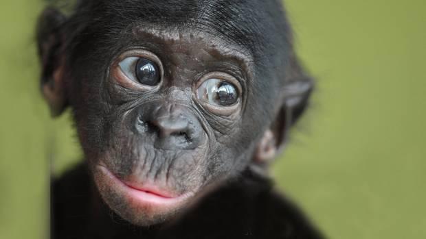 """""""Die Ähnlichkeit von Affen und Menschen verblüfft mich immer wieder. Dieser junge Bonobo aus dem Frankfurter Zoo blickt wie ein Kind auf die Besucher.""""      Mehr Fotos vonjutta1in derVIEW Fotocommunity    Aktionen und Informationen aus der VIEW Fotocommunity aufFacebookoderTwitter"""