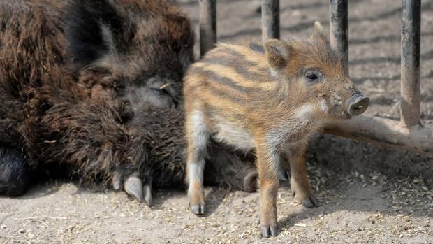 Ein kleiner Wildschwein-Frischling neben seiner Mutter