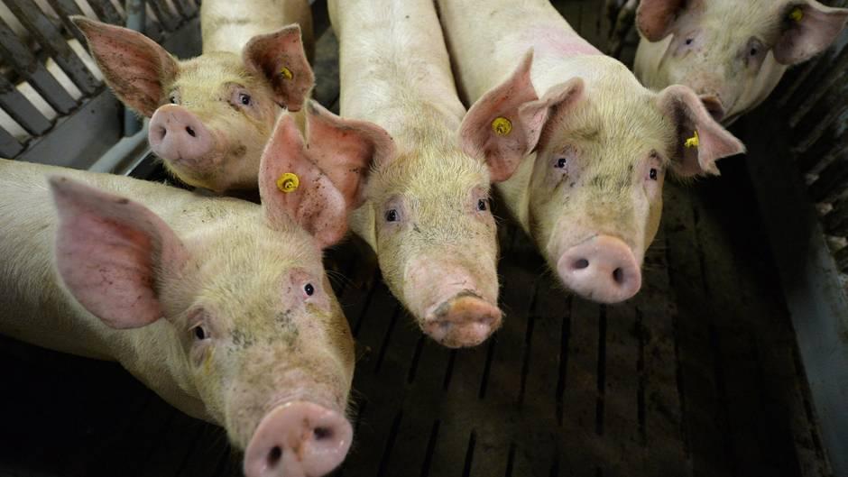 Afrikanische Schweinepest auf dem Vormarsch: Mastschweine in einem Mastbetrieb