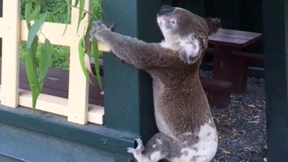 Der in Australien an einen Pfosten genagelte Koala