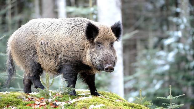 Afrikanische Schweinepest: Ein Wildschwein in einem Wald