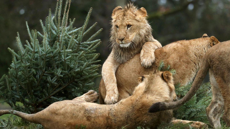 Löwenjunge in einem Zoo (Symbolbild)