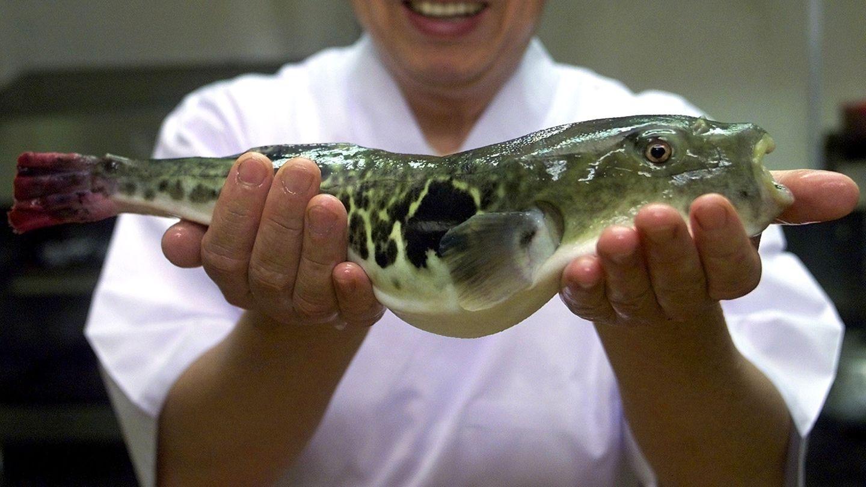 Kugelfisch - auch Fugu genannt - hat hochgiftige Innereien. Werden sie nicht sorgfältig entfernt, kann der Genuss des Fisches tödlich sein