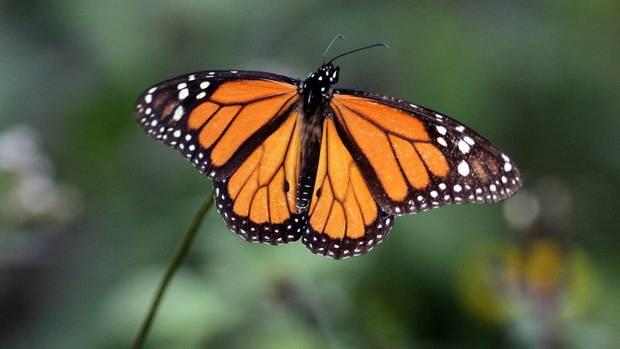 Ein Monarchfalter (Archivbild)