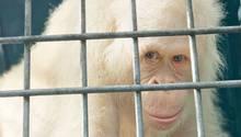 """Der weltweit einzige bekannte, lebende weiße Orang-Utan, das Weibchen """"Alba"""""""
