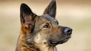 nachrichten deutschland - schäferhund