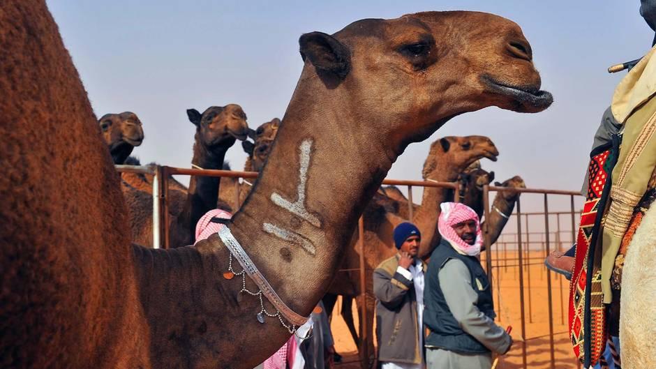 Schönheitswettbewerb: Beauty-Wahnsinn - Kamelbesitzer spritzen ihren Tieren Botox
