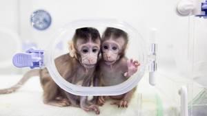 Die Klon-Affen Hua Hua und Zhong Zhong im Glaskasten - Chinesische Wissenschaftler melden Erfolg