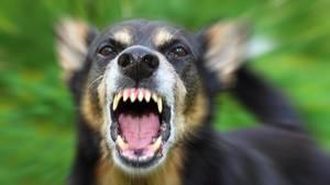 Aggressiver Hund bellt in die Kamera