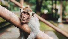 Ein Affe guckt etwas verdutzt in die Kamera – liegt es am Flachwitz-Freitag?
