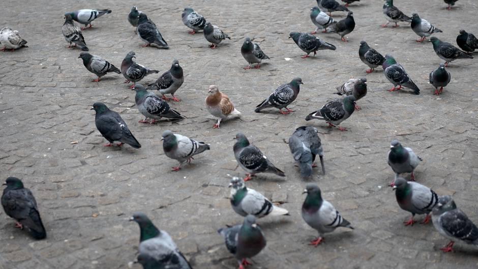 Rätsel des Alltags: Darum sieht man nie Tauben-Küken auf der Straße