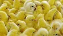Geflügelwirtschaft will Töten männlicher Küken beenden
