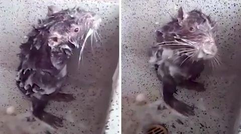 Nager in Freiheit: 19 Ziesel aus Nürnberger Tiergarten ausgewildert
