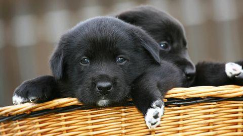 Beliebteste Rassen: Auf diese Hunde stehen die Deutschen
