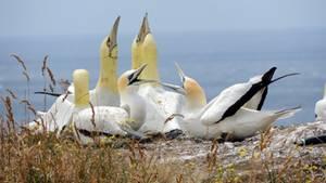 Der Tölpel Nigel (rechts) steht neben den Vogel-Attrappen
