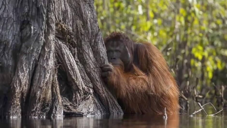 Orang Utan im Wasser: Eindrucksvolles Bild zeigt, warum wir auf die Inhalte unserer Lebensmittel achten sollten