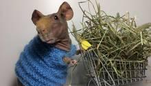 Ein Nacktmeerschweinchen in einem blauen Strickpullover