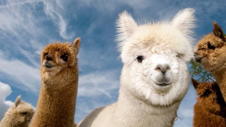Kulttiere aus den Anden: Stubenrein und uralte Nutztiere - so unglaublich sind Alpakas
