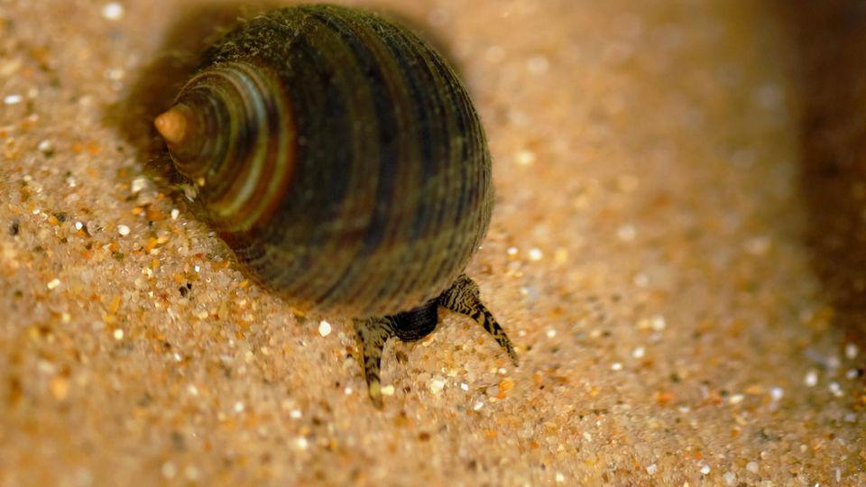 Eine Meeresschnecke krabbelt über Sand