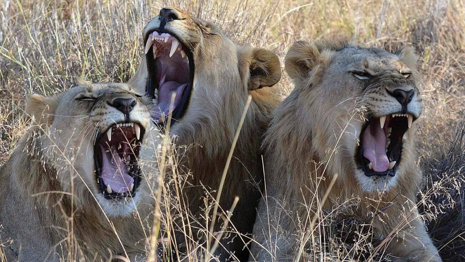 Löwen im südafrikanischen Madikwe Park