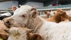 Symbolbild: Rinder in einem Schlachthof.
