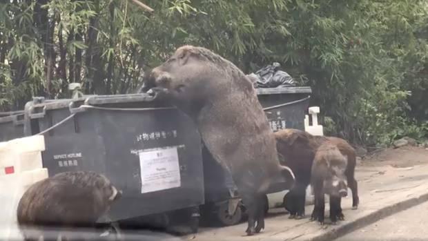Ein riesiges Wildschwein steht auf den Hinterbeinen an einem Müllcontainer