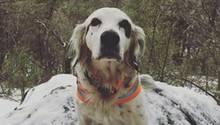 Der English Setter Pete sitzt auf einem Felsen im Schnee.
