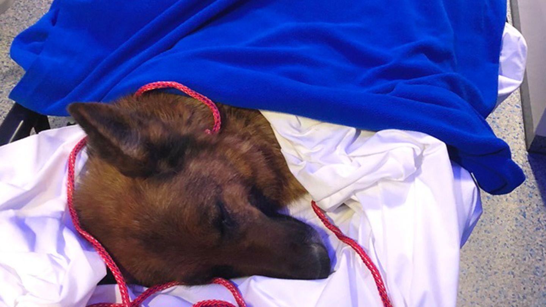 Hündin Rapunzel liegt erschöpft unter Decken