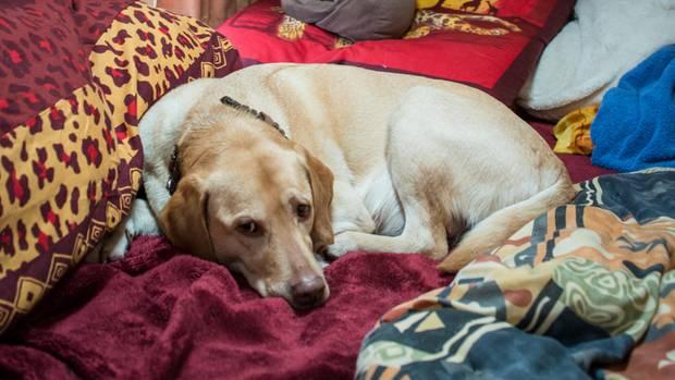Labradorhündin Fubi darf das Bett von Herrchen Michael benutzen. Bald bekommt sie einen eigenen Wohnwagen