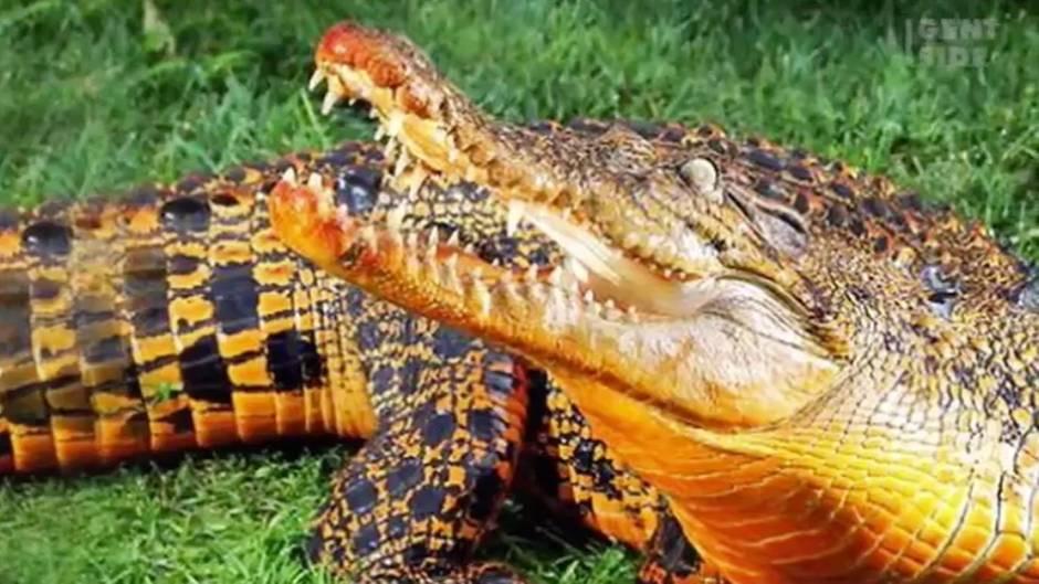 Besondere Art in Gabun: Orangene Krokodile - was diesen Reptilien ihre ungewöhnliche Farbe gibt