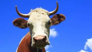Eine Kuh (Symbolbild)