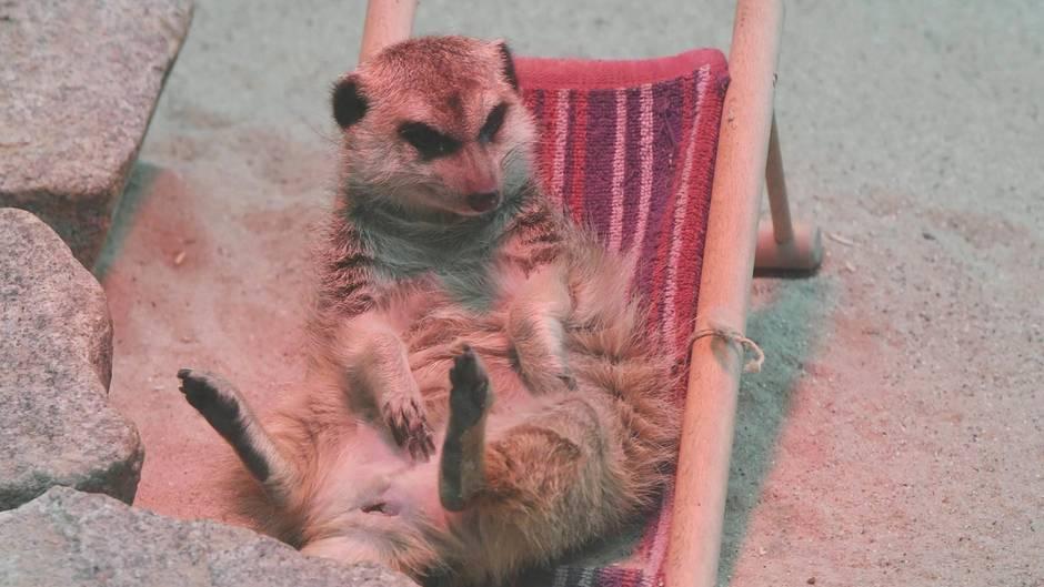 """Im Zoo Karlsruhe sitzt das Erdmännchen """"Frau Erdfrau"""" unter einer Wärmelampe."""
