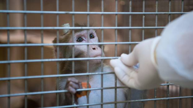 Versuche mit Affen am Max-Planck-Institut in Tübingen