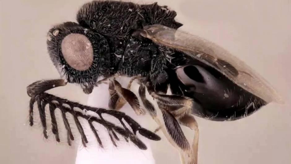 Neue Art: Diese Wespe hat eine Säge am Rücken, der Grund dafür ist albtraumhaft