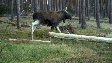 Ein männlicher Elch in Sachsen-Anhalt