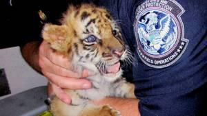 Ein Grenzbeamter in den USA hält das Tigerbaby auf seinem Arm.