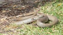 Die Östliche Braunschlange ist eine hochgiftige Schlange