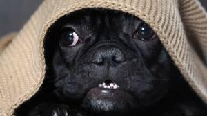 junger Hund, der unter einer Decke hervor guckt.