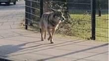 Vor wenigen Wochen an einem Mittag: Ein Wolf läuft am Zaun an einer Kindertagesstätte entlang.
