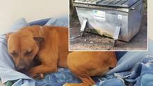 Die Pitbull-Hündin erholt sich im Tierheim Saarbrücken von ihrer Kälte-Nacht im Müllcontainer.