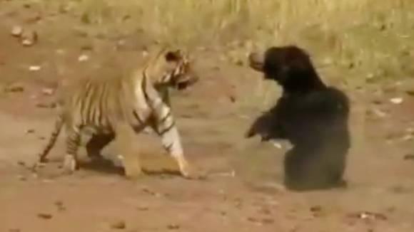 Bärin gegen Tiger: Touristen filmen Raubtierkampf - mit überraschendem Ausgang