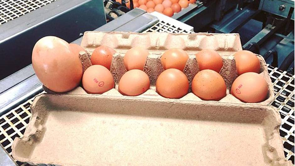 Das Riesenei neben elf normalen Hühnereiern in einer Packung