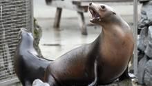 Seelöwen sitzen im Kölner Zoo in ihrem Gehege
