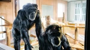 Diese Schimpansen lebten als Versuchstiere – jetzt suchen sie Frieden