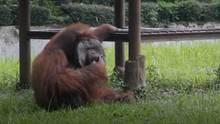 Ein Orang-Utan sitzt im Gras seines Geheges und hält sich mit der rechten Hand eine Zigarette an den Mund