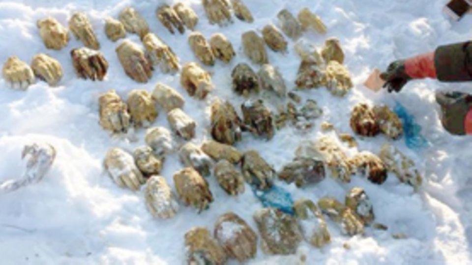 Gruselfund in Sibirien:  Sack mit mehr als 50 abgetrennten Händen gefunden – Erklärung der Behörden macht stutzig