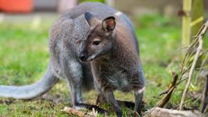 Känguru Viggo