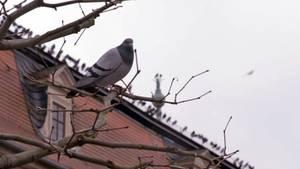Die Tauben von Fulda bleiben lieber in der Innenstadt, anstatt das extra gebaute Taubenhaus in der Aue anzusteuern.