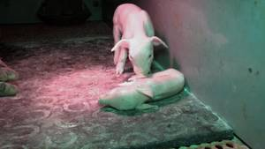Aufnahmen aus der Ferkelbox: Im Schweinehochhaus lagen Tierkadaver zwischen lebenden Ferkeln.
