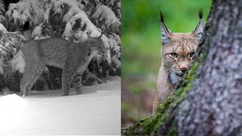 Größte Katze Europas: Der Luchs streift wieder durch den Pfälzerwald